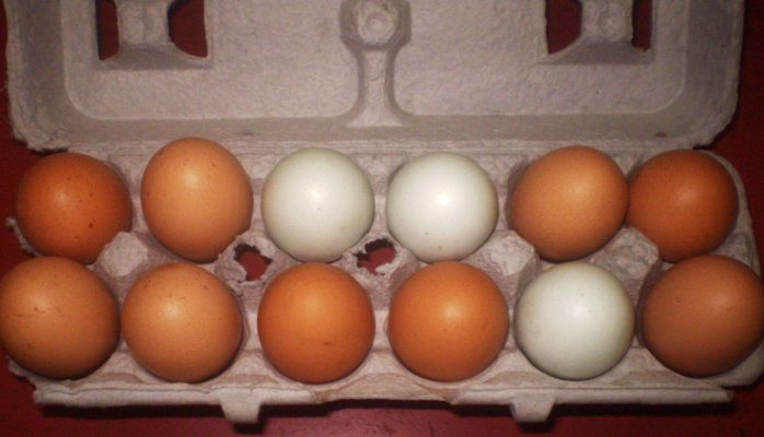 Chicken Eggs - Wyandotte, Rhode Island Red, Amerucana, Gold Sex Link