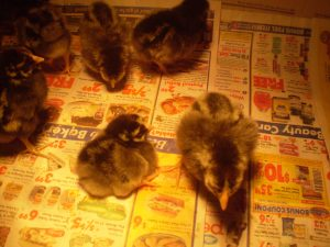 Day-old Silver-laced Wyandotte chicks