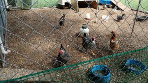 inside chicken coop images (front l to r)Babs & Madame, Silver-laced Wyandotts. Daphne, Gold Sex Link; (back) Cheetarah, Amerucana. Ducks
