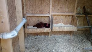 Rhode Island Red laying hen